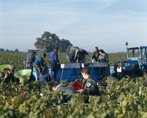 Manual workers in a vineyard by Panoramic Images