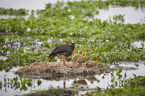 Crested Screamer (Chauna torquata) with its chicks von Panoramic Images