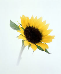 Close up of sunflower by Panoramic Images
