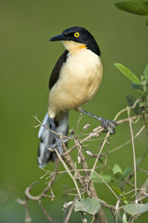 Close-up of a Black-Capped donacobius (Donacobius atricapilla) by Panoramic Images