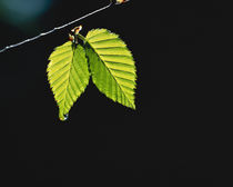 Two green leaves on thin branch on black by Panoramic Images
