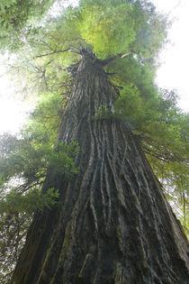 Low-Angle View Of Redwood Tree von Panoramic Images