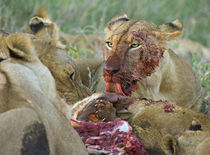 Four lioness eating a kill von Panoramic Images