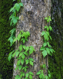 Poison ivy vine on tree trunk, Kistachie National Forest, Louisiana, USA. von Panoramic Images
