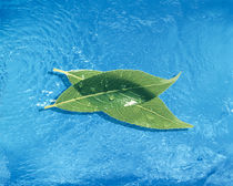 Two crossed green leaves floating in shallow blue water von Panoramic Images