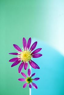 Close up of purple flowers with yellow centers on turquoise background von Panoramic Images