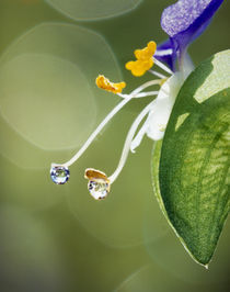 Water drops on Spiderwort flowers by Panoramic Images