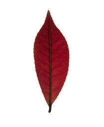 Close up of red leaf on white by Panoramic Images
