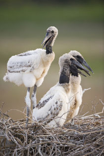 Jabiru stork (Jabiru mycteria) chicks in a nest von Panoramic Images