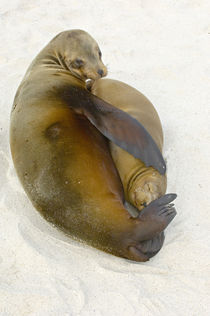 Galapagos sea lion (Zalophus wollebaeki) with its young one on the beach by Panoramic Images