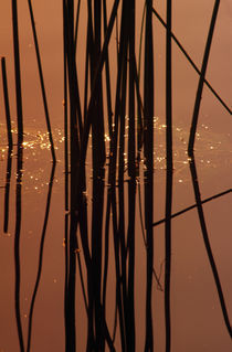 Detail Of Silhouetted Rushes (Juncus Spp) In Marsh Water