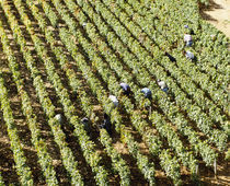 High angle view of manual workers picking grapes in a vineyard, Burgundy, France