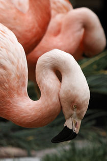 Flamingos Posing for the Camera by Eye in Hand Gallery