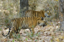 Bengal Tiger (Panthera tigris tigris) cubs walking in a forest von Panoramic Images