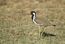 Close-up of a Red-Wattled lapwing (Vanellus indicus) by Panoramic Images