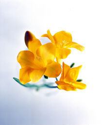 Close up of deep yellow flowers on blue and white von Panoramic Images