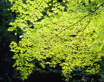 Leaves on a Maple tree, Sagano, Kyoto City, Kyoto Prefecture, Japan by Panoramic Images
