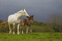 Mare and Foal, Co Derry, Ireland von Panoramic Images
