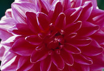 Close-up of a dahlia flower by Panoramic Images