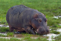 Close-up of a hippopotamus by Panoramic Images