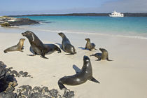 Galapagos sea lions (Zalophus wollebaeki) on the beach by Panoramic Images