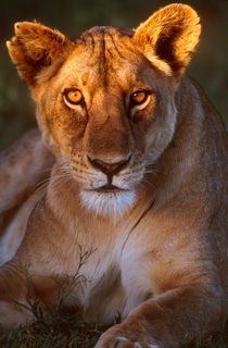 Lioness Tanzania Africa by Panoramic Images