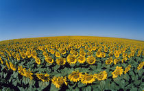 Sunflowers (Helianthus annuus) in a field by Panoramic Images