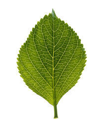 Close up of green leaf on light grey von Panoramic Images