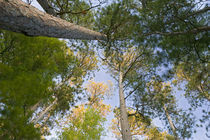 Low angle view of red pine trees growing along Lake Itaska by Panoramic Images