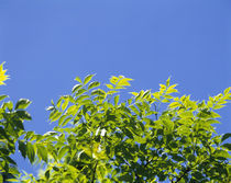 Low angle view of leaves on branches, Shiretoko Peninsula, Hokkaido, Japan von Panoramic Images