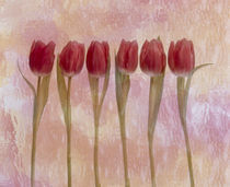 Six pink tulips  by Panoramic Images
