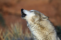 Wolf Howling von Panoramic Images