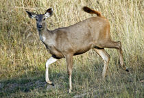 Sambar (Cervus unicolor) running in a forest by Panoramic Images