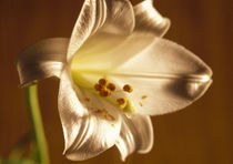 Close-up of a lily flower by Panoramic Images