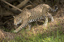 Jaguar (Panthera onca) foraging in a forest von Panoramic Images