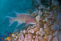 Mexican hogfish (Bodianus diplotaenia) swimming underwater by Panoramic Images