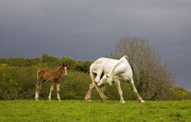 Itchy Mare and Foal, Co Derry, Ireland von Panoramic Images