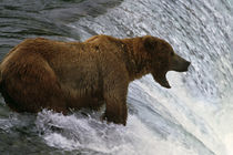 Brown bear at top of waterfall by Panoramic Images