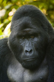Close-up of a Mountain gorilla (Gorilla beringei beringei) by Panoramic Images