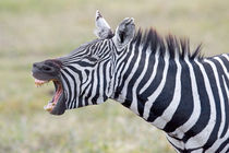 Close-up of a zebra braying by Panoramic Images