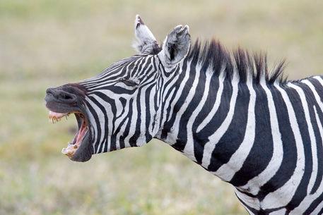 Close-up of a zebra braying  Zebra Yelling