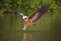 Black-Collared hawk (Busarellus nigricollis) pouncing over water for prey by Panoramic Images