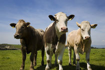 Cattle, County Waterford, Ireland von Panoramic Images