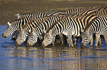 Herd of zebras drinking water by Panoramic Images