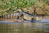 Yacare caiman (Caiman crocodilus yacare) at riverbank von Panoramic Images