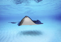 Close-up of a Southern stingray (Dasyatis americana) von Panoramic Images