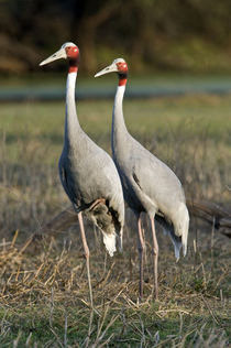 Close-up of two Sarus cranes (Grus antigone) von Panoramic Images