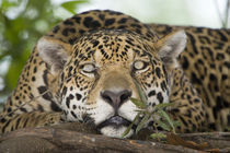 Jaguar (Panthera onca) resting on a tree trunk von Panoramic Images