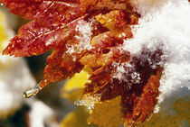 Snow On Autumn Color Vine Maple Tree Leaves von Panoramic Images