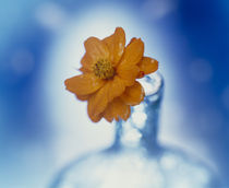 Close up of ruffled marigold bloom  by Panoramic Images